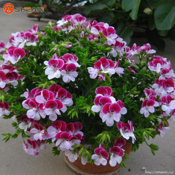 Balcony Potted Red and White Geraniums Flower Seeds Potted Plants Diy Home Garden 20 Pieces / Lot/5863438_BalconyPottedRedandWhiteGeraniumsFlowerSeedsPottedPlantsDiyHomeGarden20PiecesLot1 (700x700, 347Kb)
