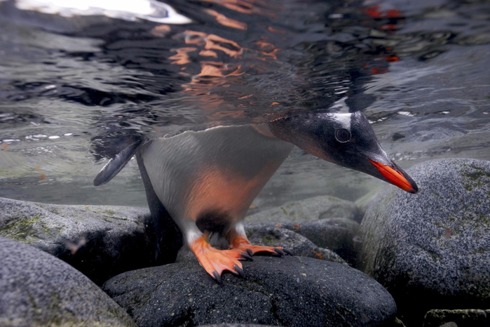 Photo_by_Paul_Nicklen-3 (700x466, 339Kb)