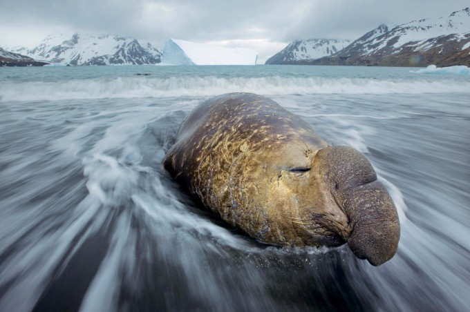 Photo_by_Paul_Nicklen-25-680x452 (680x452, 230Kb)