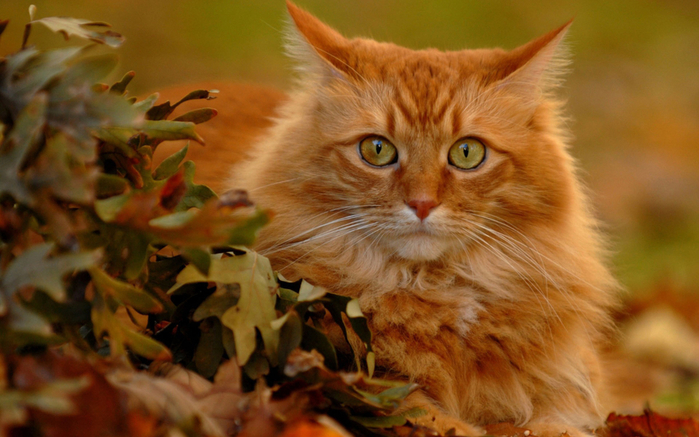 6010135_117246761_large_Animals___Cats_Red_Cat_in_autumn_leaves_044655_ (700x437, 359Kb)
