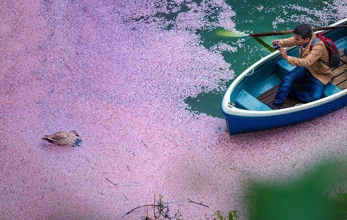 16 волшебных фотографий весеннего цветения в Японии от National Geografic