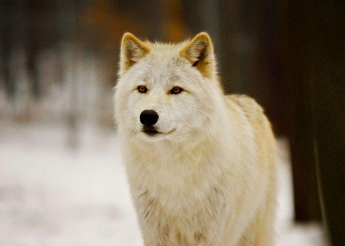 white-wolf (700x500, 30Kb)