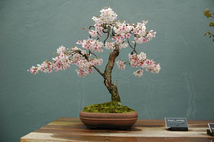 cherry-bonsai (700x465, 285Kb)