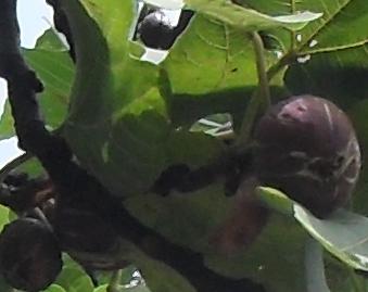 (339x269, 178Kb)Часто ветки висят над тротуарами, и ягоды падают под ноги прохожим