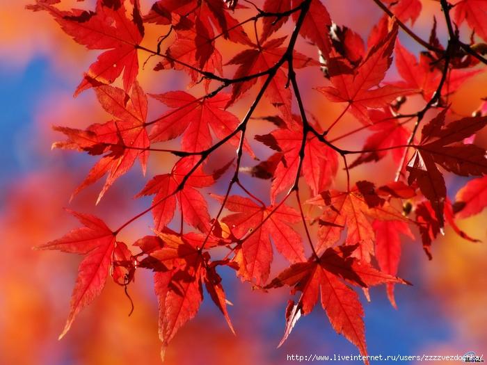 Кленовые листья (700x525, 141 Kb)