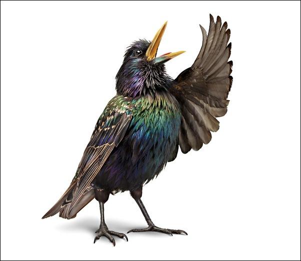 Оперные птицы от студии Aorta 2