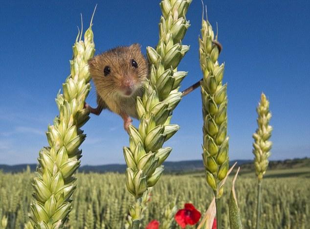 мышка полевка