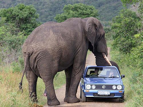 слон сношается с автомобилем