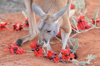 Домашний кенгуру 10