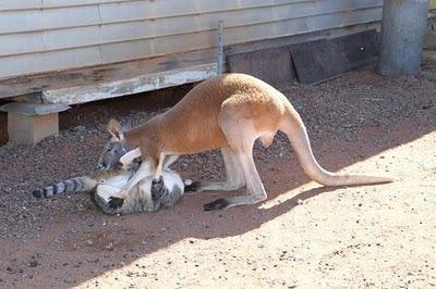 Домашний кенгуру 14