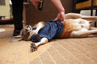 Домашний кенгуру 20