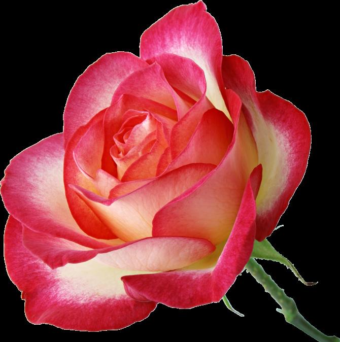 Анимация розы для презентации на прозрачном фоне