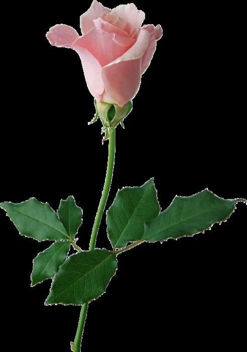 картинки роза на прозрачном фоне