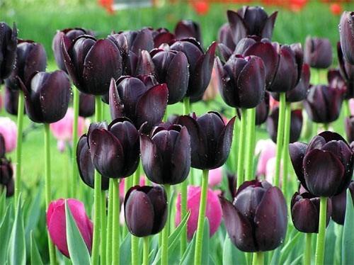 Где купить чёрные тюльпаны имя розы фильм купить