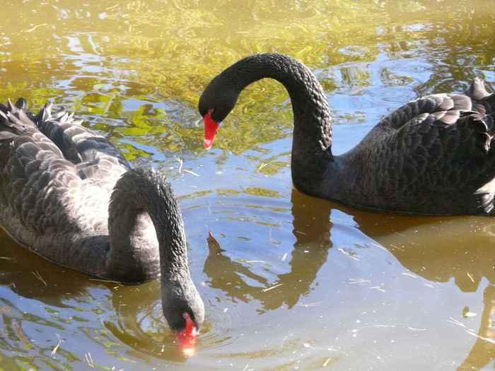 Красивые черные лебеди на воде