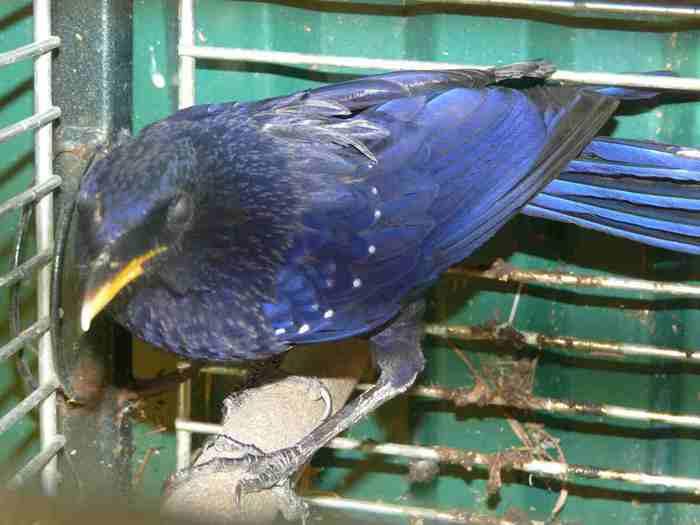 Синия птицв - очень юркая