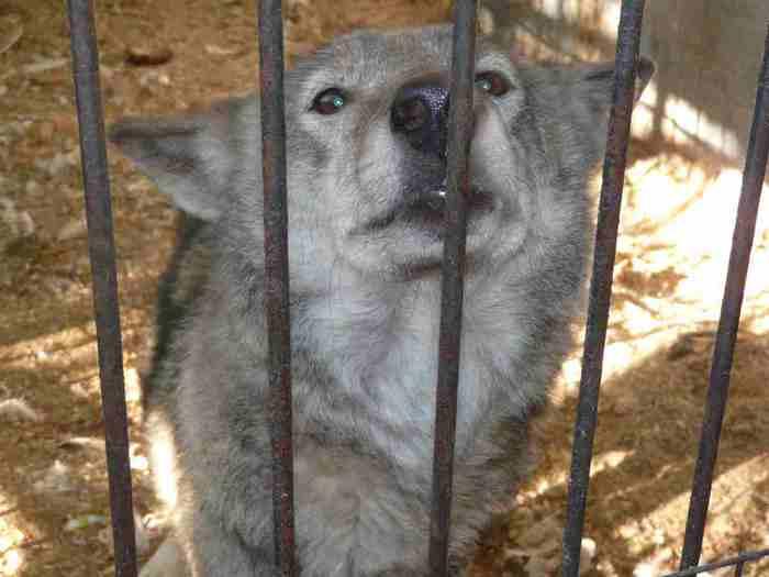 Еще волки: и на вид такие безобидные и ручные