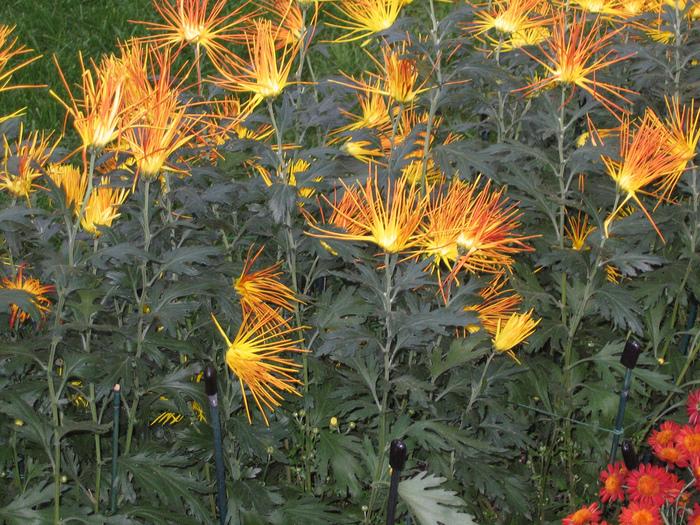 Хризантемы в саду Лонгвуда