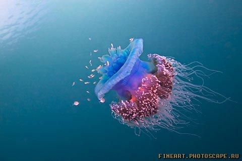 свободно плавающие медузы.