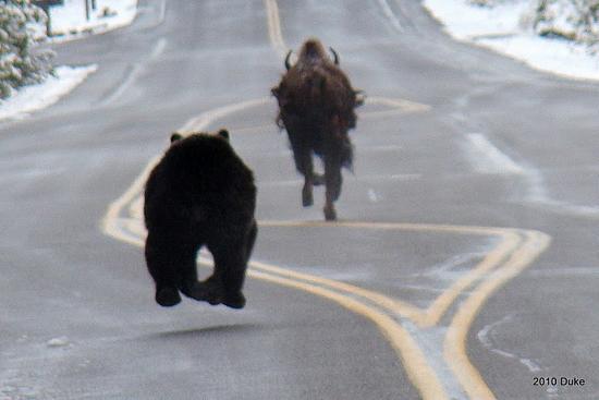 медведь гонится за бизоном по разделительной полосе