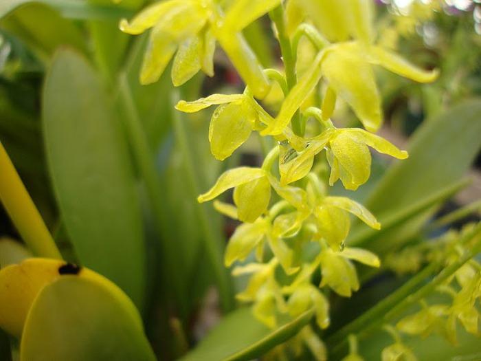 Орхидеи. Виды и сорта. (700x525, 70Kb)