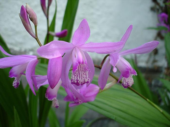 Орхидеи. Виды и сорта. (700x525, 80Kb)
