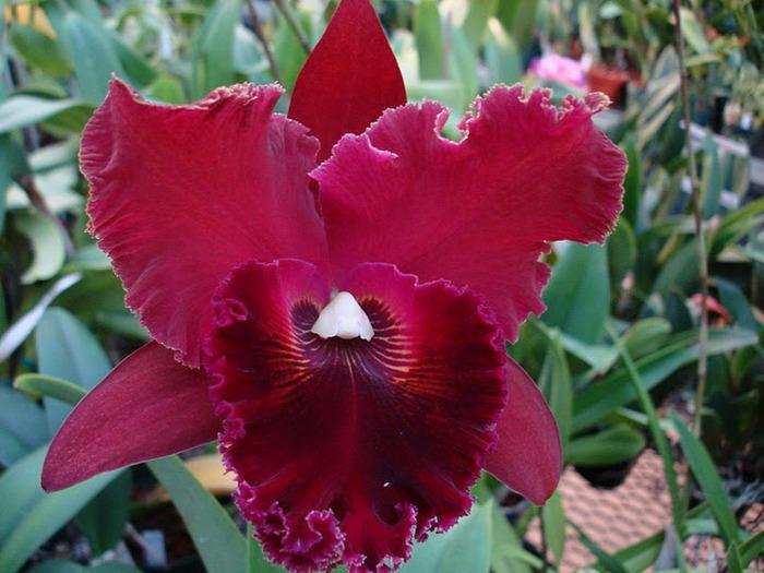 Орхидеи. Виды и сорта. (700x525, 98Kb)