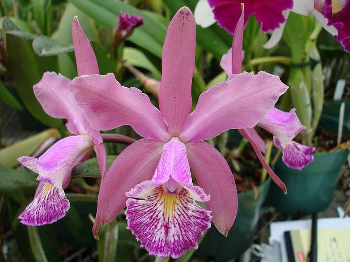 Орхидеи. Виды и сорта. (700x525, 111Kb)