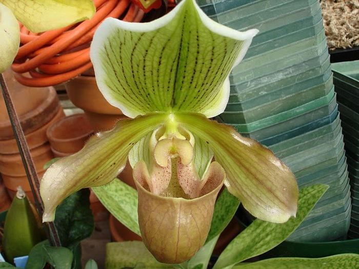 Орхидеи. Виды и сорта. (700x525, 123Kb)
