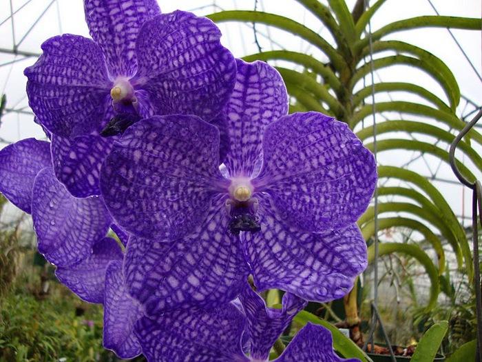 Орхидеи. Виды и сорта. (700x525, 154Kb)