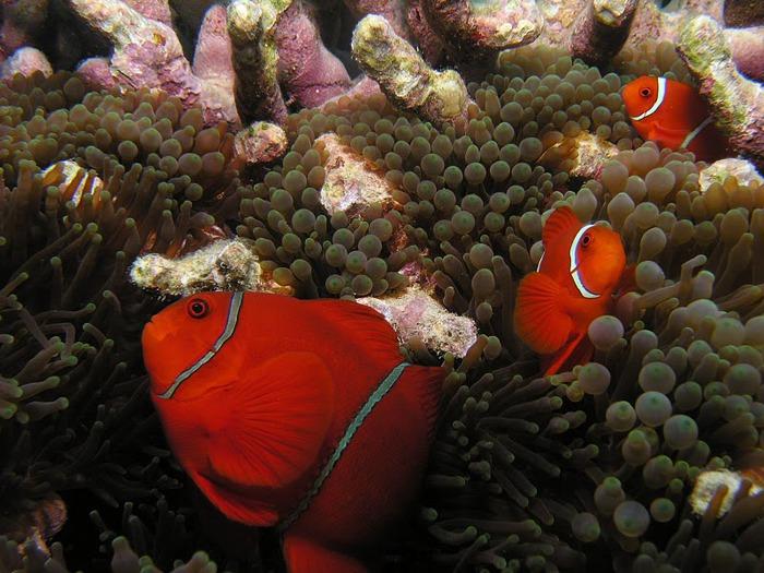 Восьмое чудо света - Большой Барьерный риф Австралии-Great Barrier Reef 24841