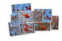 Кораловое дерево или Erythrina