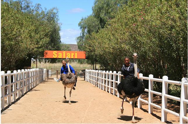 В Украине прошли гонки на страусах 28798