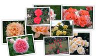 Цветы парка Багатель (часть 2)