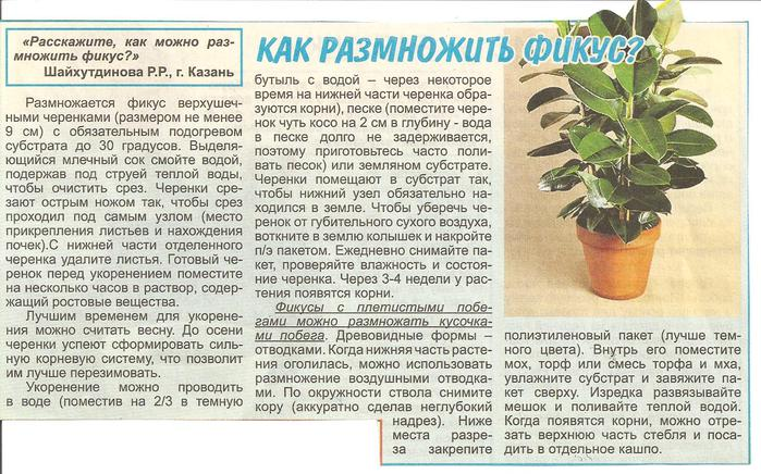 Фикус уход 69177534_Izobrazhenie_036