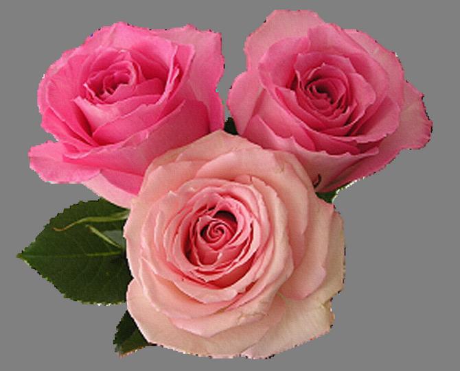 Фото роза на прозрачном фоне