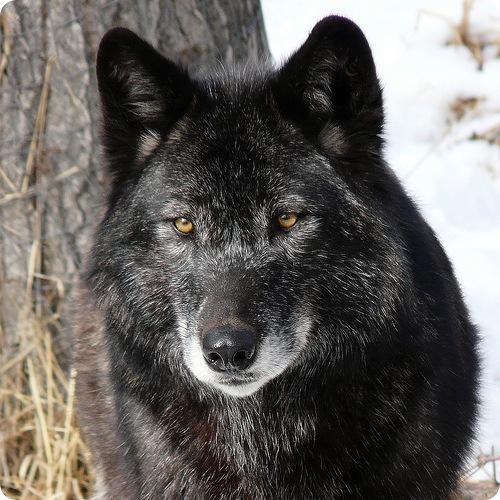 Сильные и агрессивные волки...