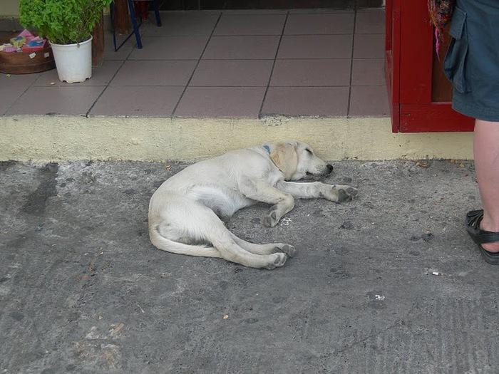 домашниe животные на острове Санторин 40418