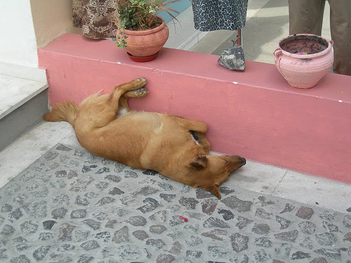 домашниe животные на острове Санторин 46528