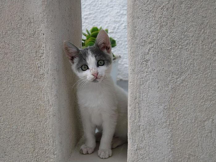 домашниe животные на острове Санторин 50761