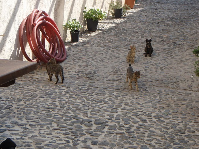 домашниe животные на острове Санторин 52228