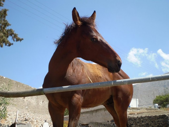 домашниe животные на острове Санторин 92770