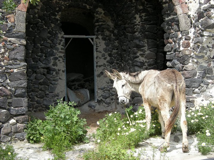 домашниe животные на острове Санторин 24077