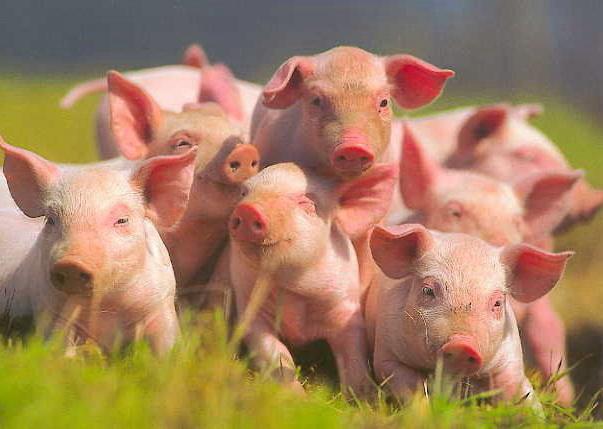 Европа сократила продажи живых свиней