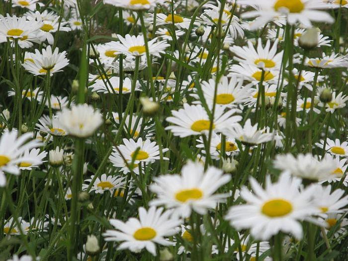 цветочный хоровод 86155