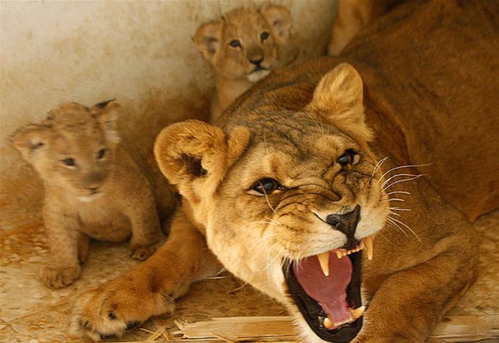 львы фото,дикие животные фото,животные африки фото