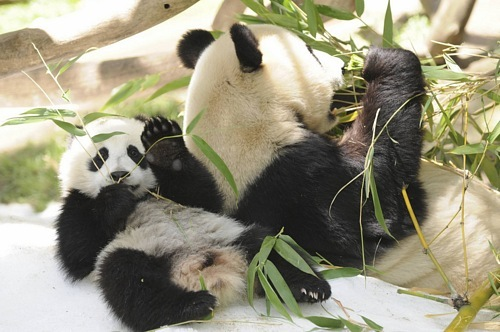 спасем панд