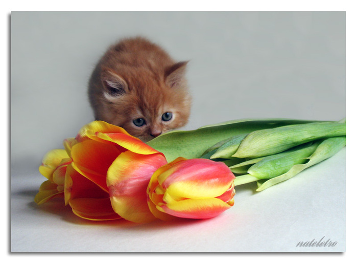 тюльпаны и котенок (699x514, 93 Kb)