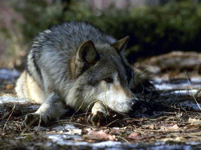 волки кобели волчицы...