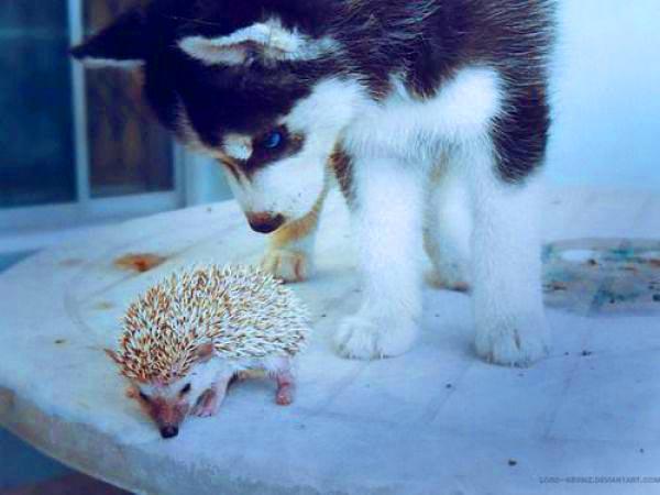 Симпатичные собаки - хаски (47 фото)